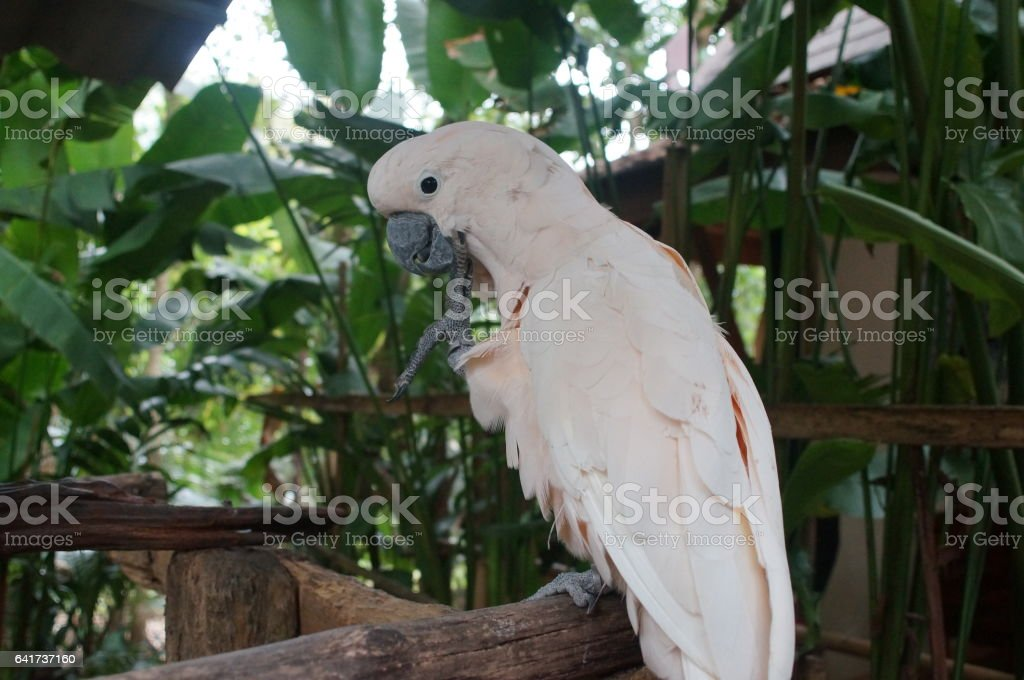cockatoo white sitting on a branch and cleans feathers stock photo
