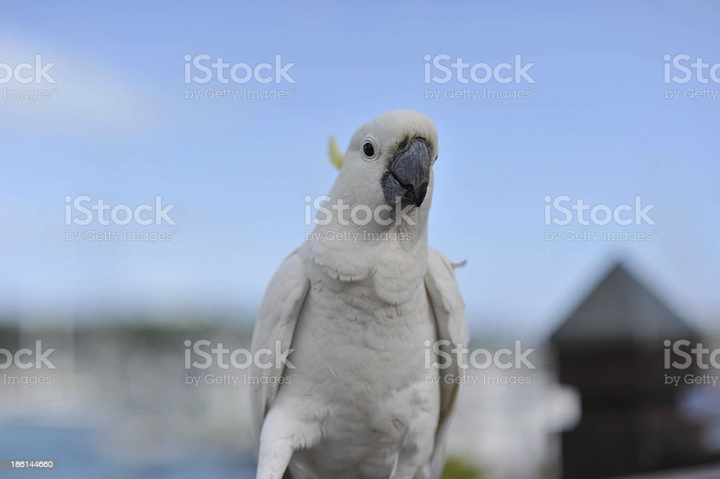 Cockatoo with blue background stock photo