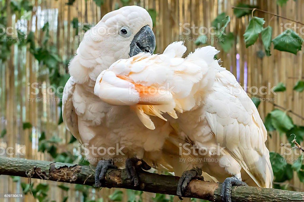 Cockatoos stock photo