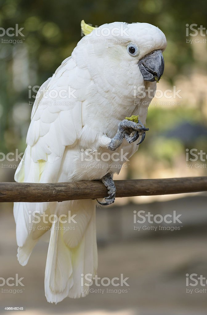Cockatoo.The scientific name is Cacatua Vieillot. stock photo