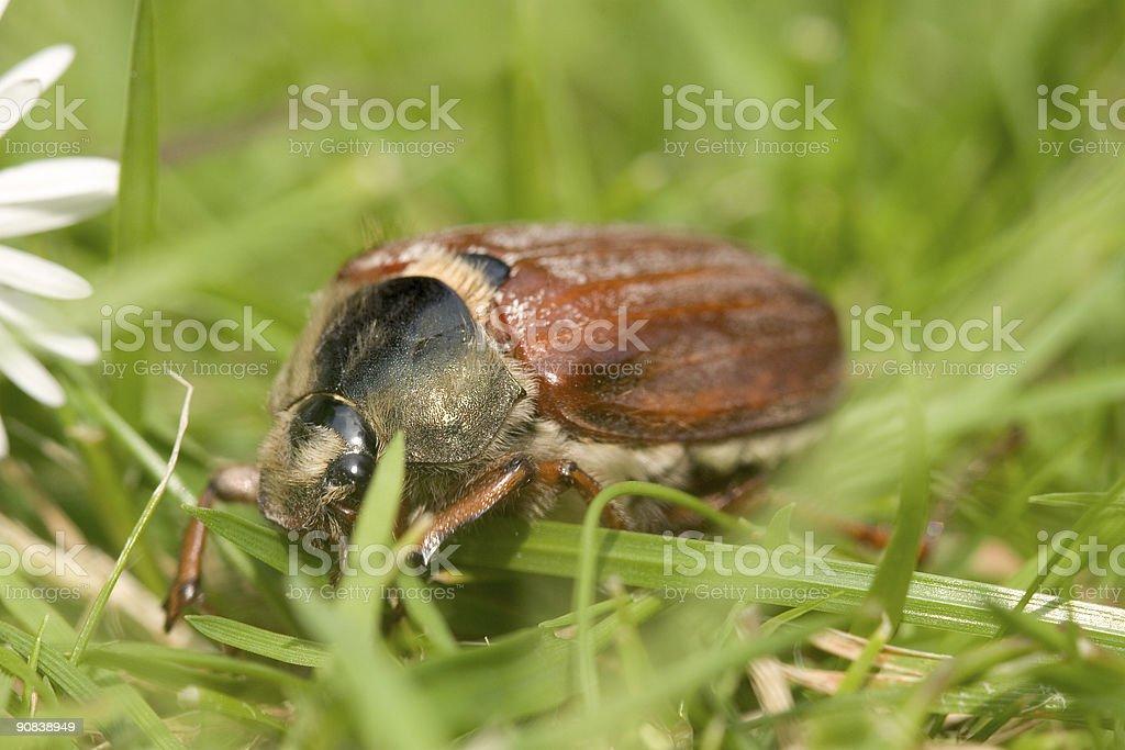Cockchafer Beetle stock photo