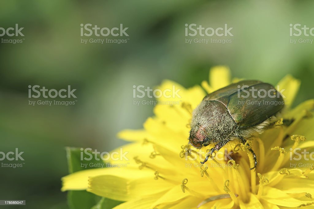 cockchafer on a flower in the wild stock photo