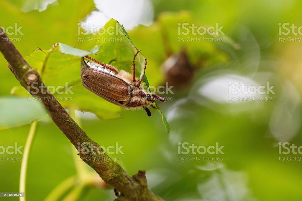 Cockchafer or maybug stock photo