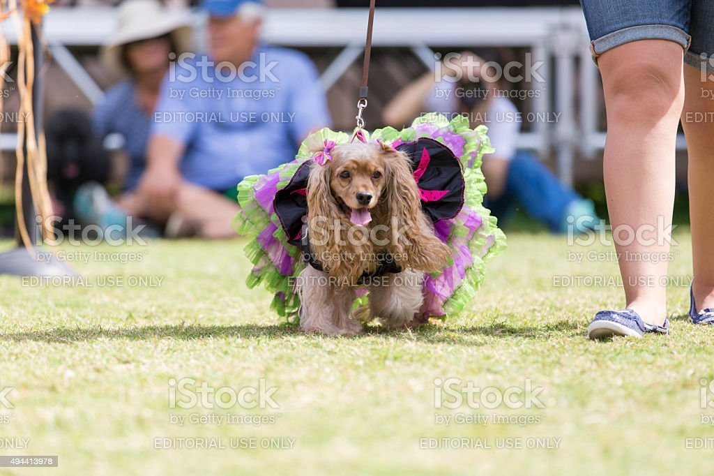 Cocker Spaniel All Dressed Up Struts down a Runway stock photo