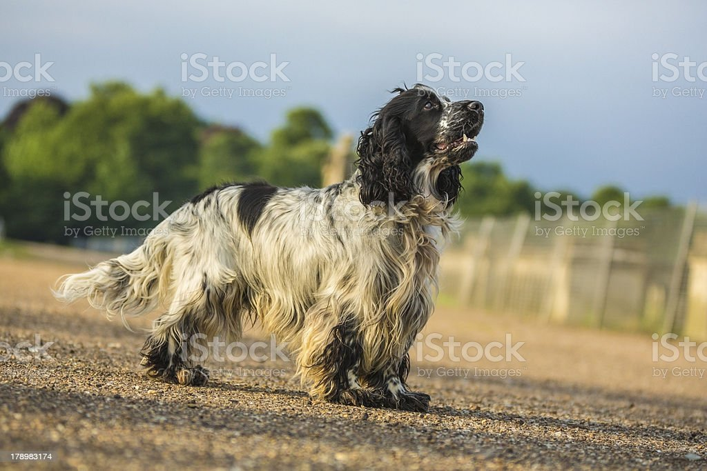 Cocker spaniel dog in the park stock photo