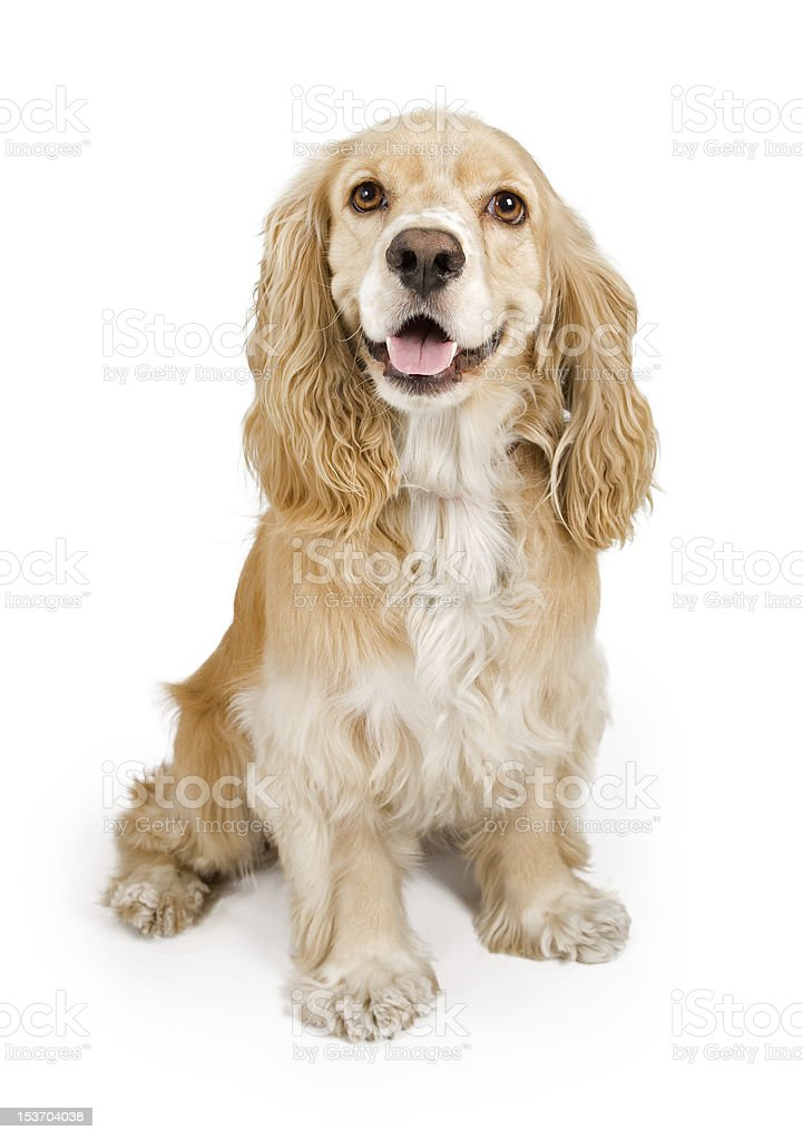 Cocker Spaniel Dog Isolated on White stock photo
