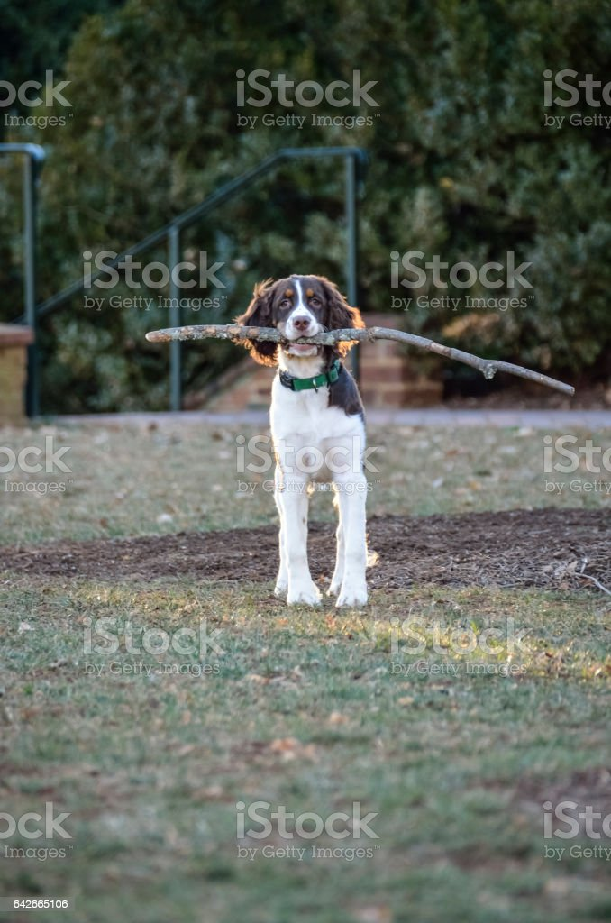 Cocker spaniel holding long large branch stick wood on grass stock photo