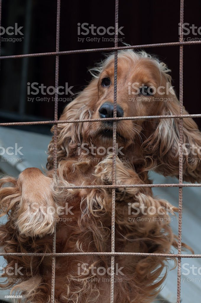 Cocker Spaniel in a cage, looking ahead royalty-free stock photo