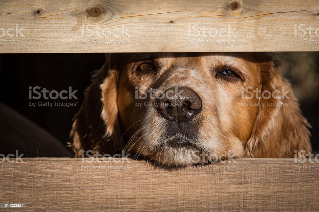 Cocker spaniel looks through fence post with wet nose stock photo