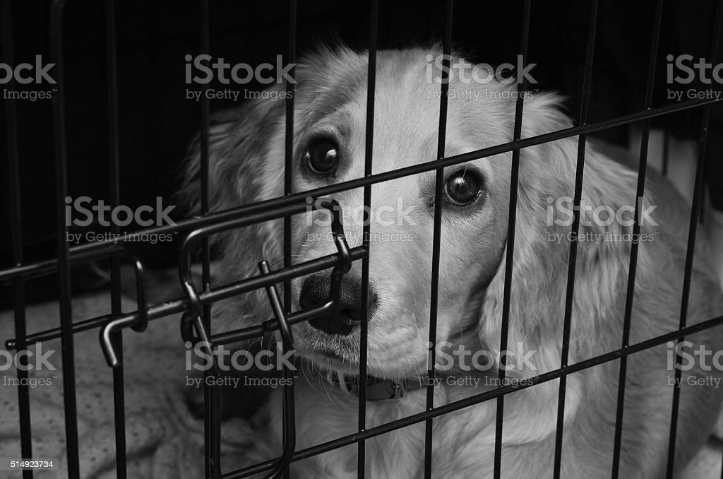 Cocker spaniel pup in her crate stock photo