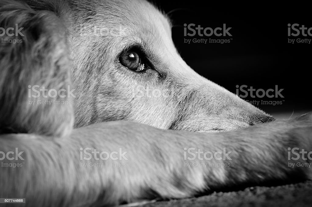Cocker spaniel puppy looking sad stock photo