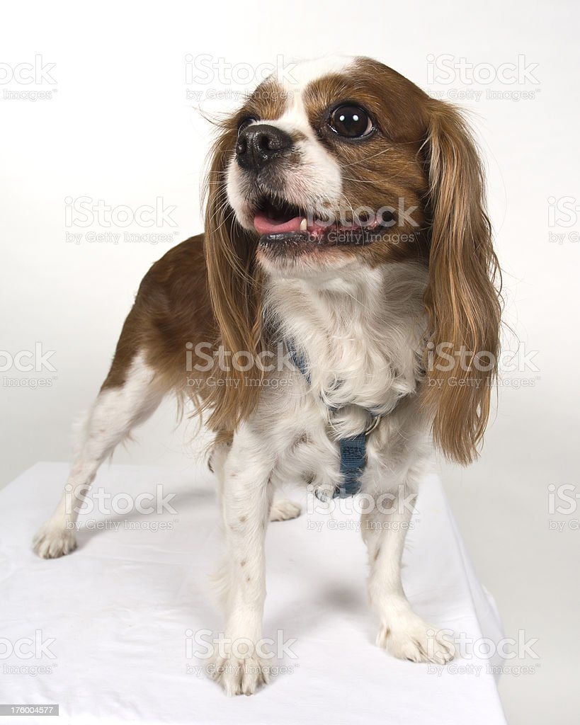 Cocker Spaniel Puppy Posing Against White Background royalty-free stock photo