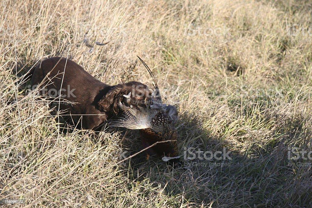 Cocker Spaniel Retrieving royalty-free stock photo