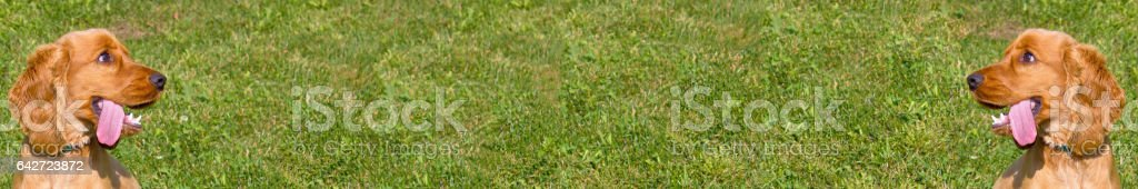 Cocker Spaniel wide panorama with grass background  (display friendly) stock photo