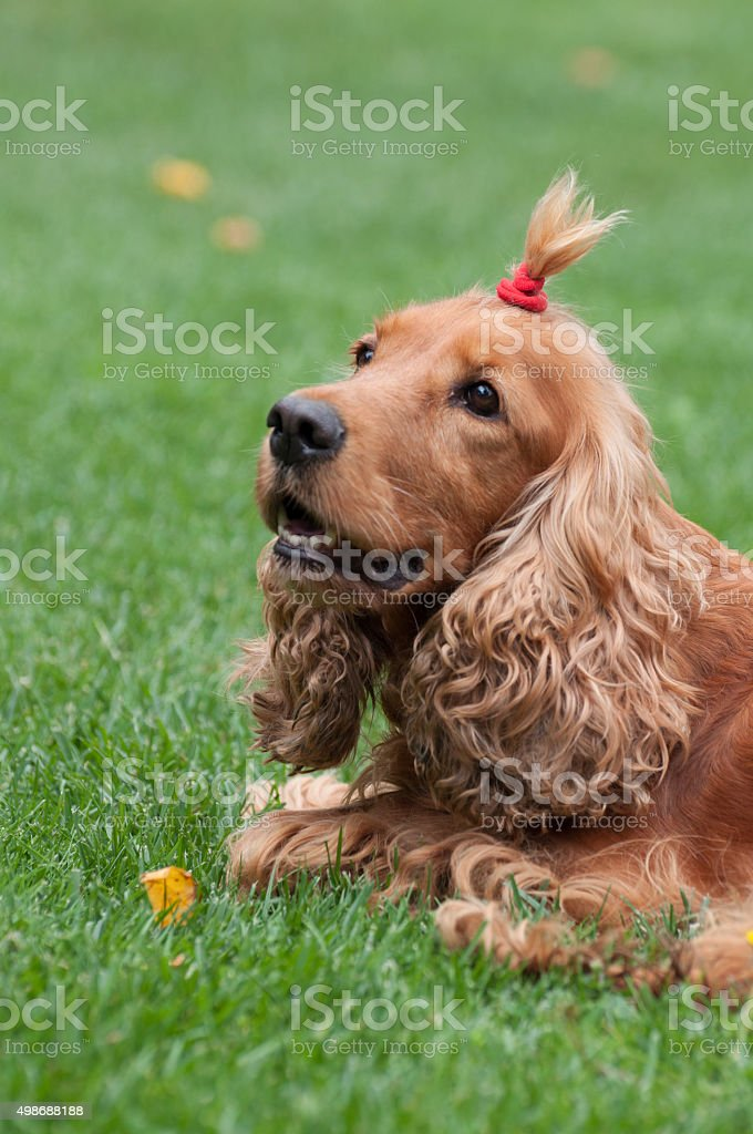 Cocker Spaniel with funny haircut, vertical view royalty-free stock photo