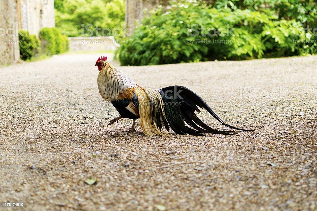 Cockerel strutting stock photo