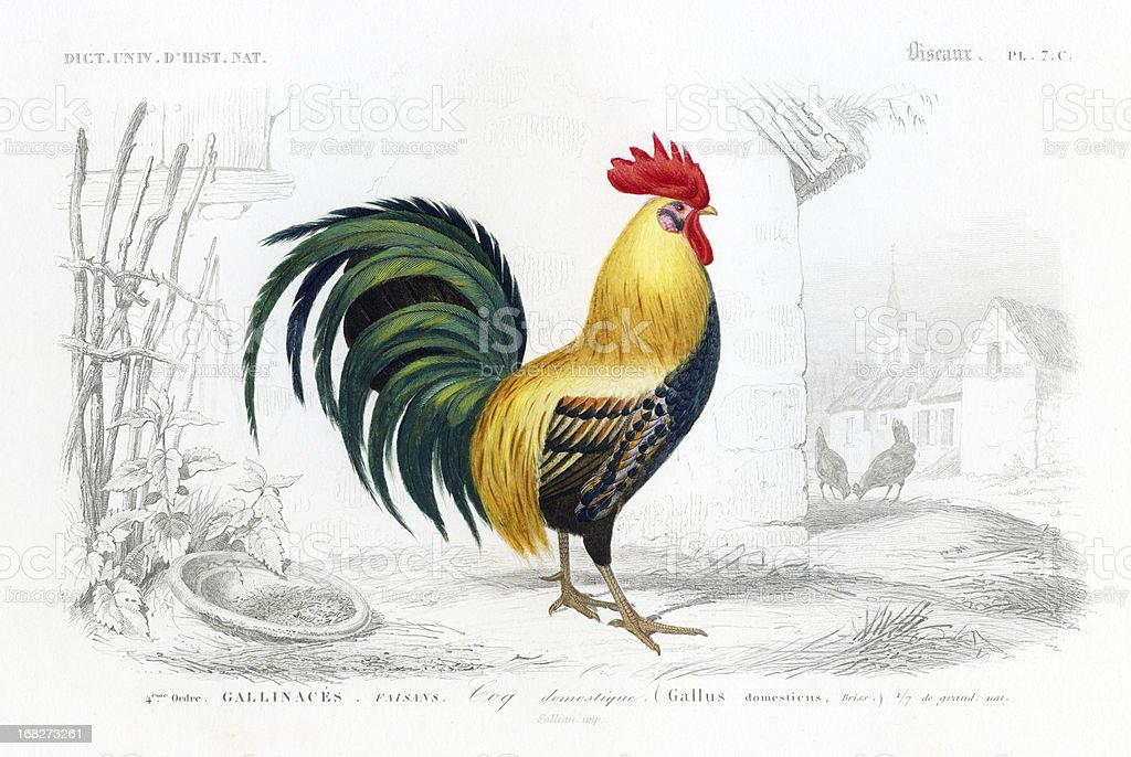 Cockerel, superb engraving, 1849 stock photo