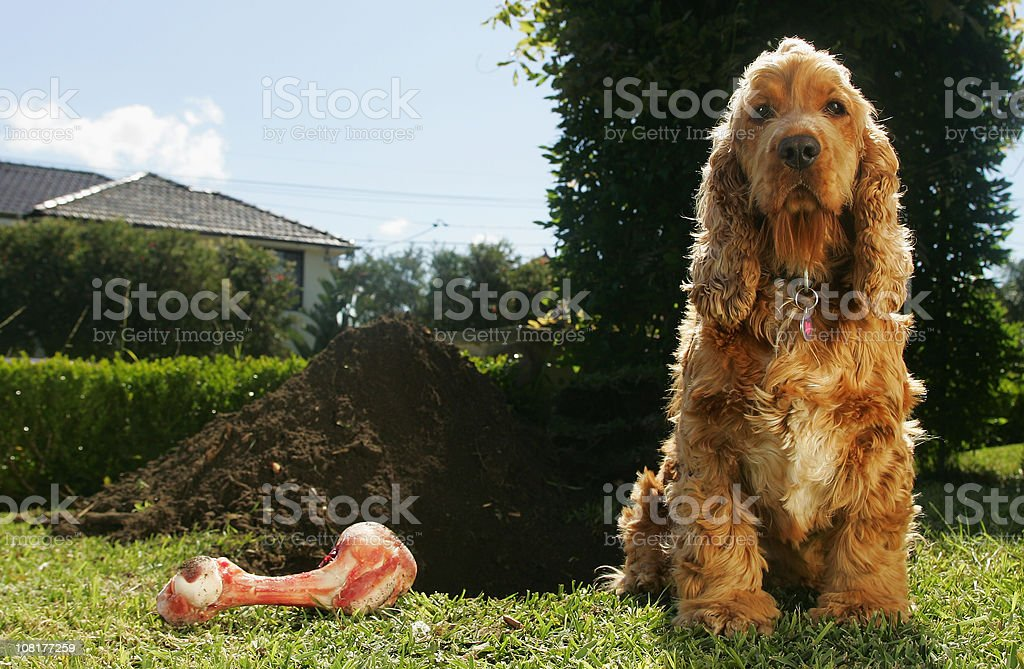 Cockerspaniel and Dog Bone Beside Large Dug Hole stock photo
