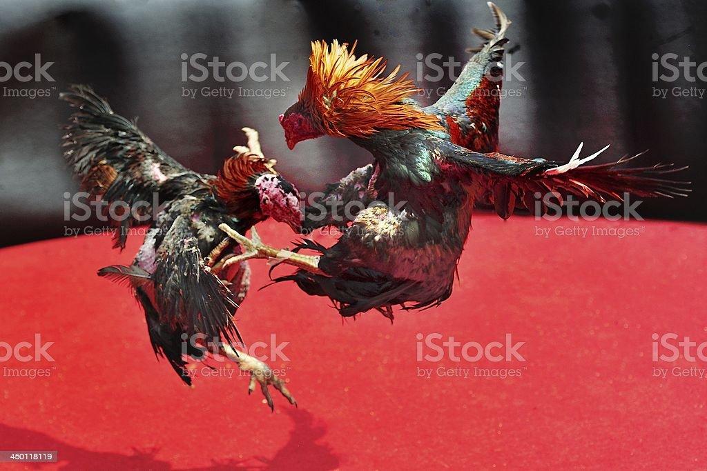 cockfight arena royalty-free stock photo