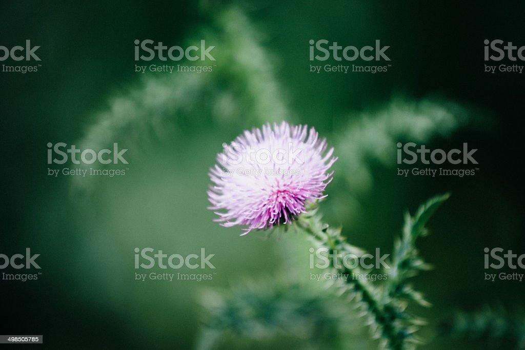 Cocklebur flower royalty-free stock photo