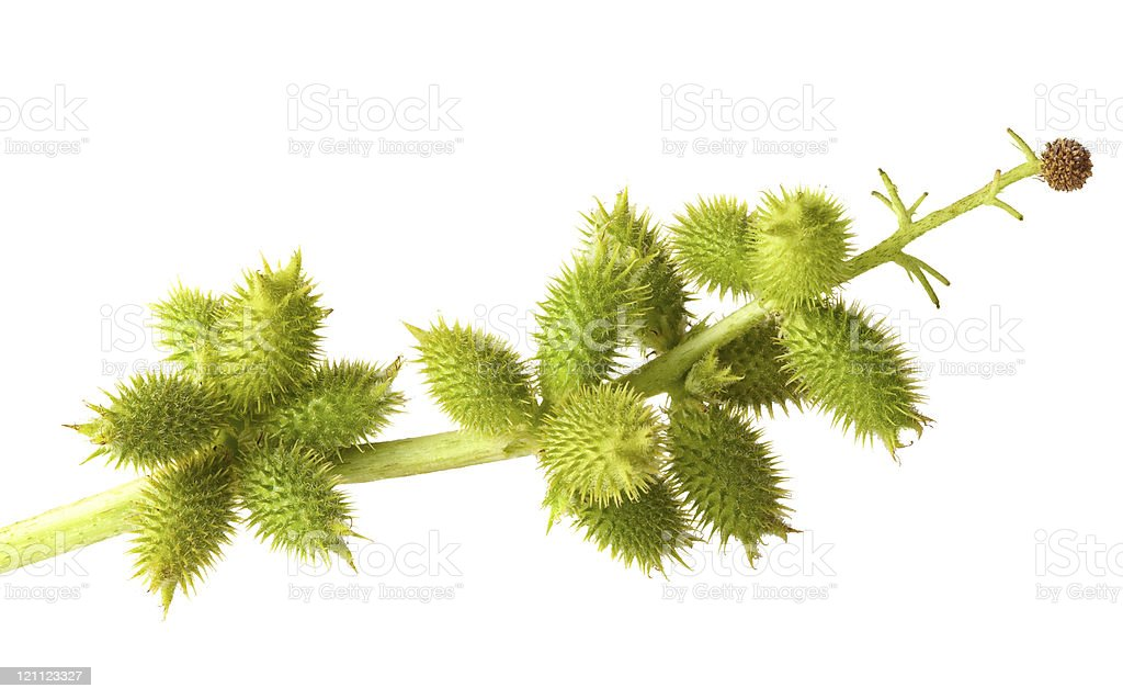 Cocklebur fruits isolated on white royalty-free stock photo