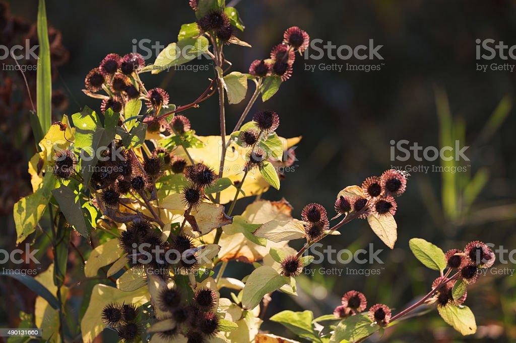 Cocklebur in Autumn Sunlight stock photo