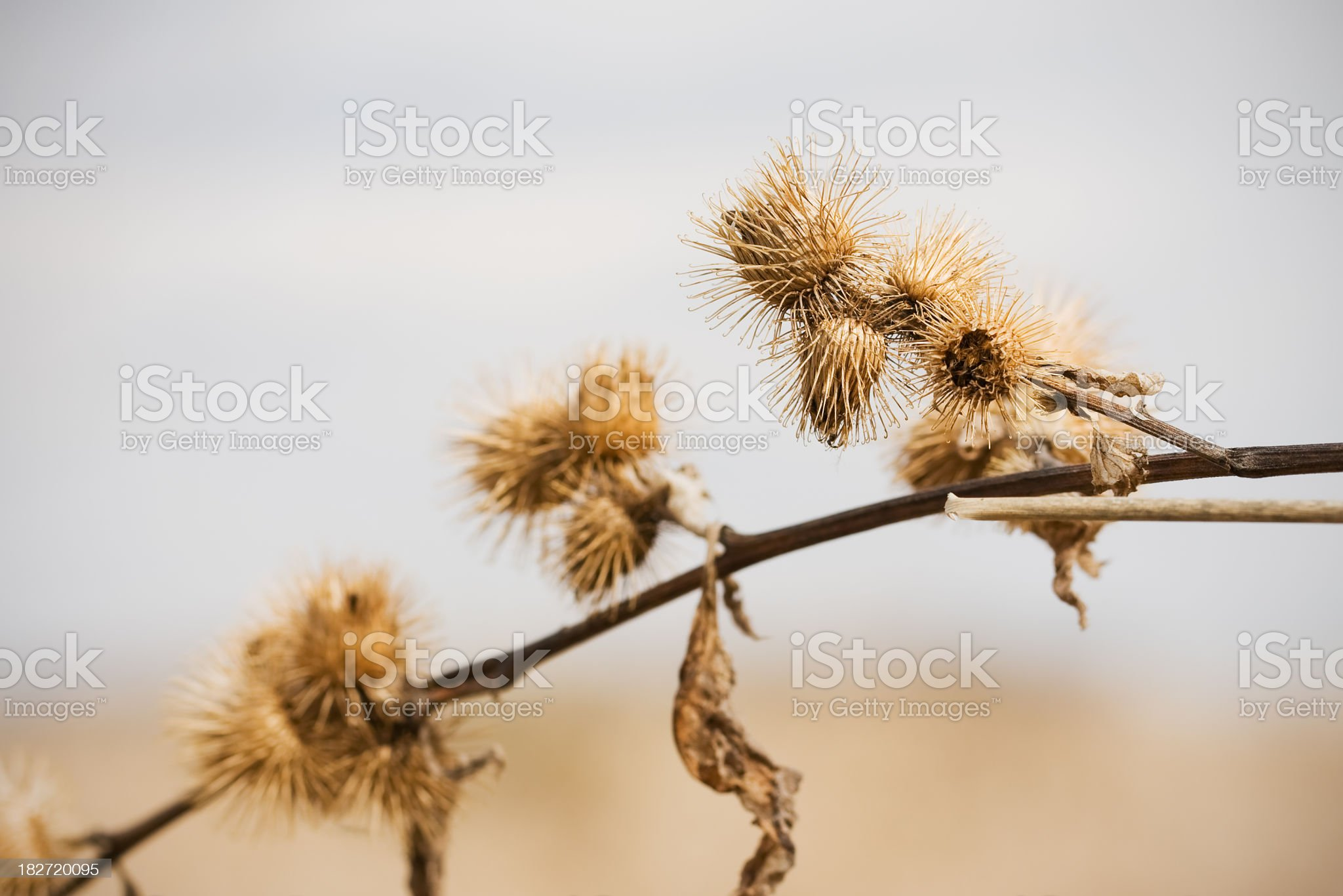 Cocklebur royalty-free stock photo
