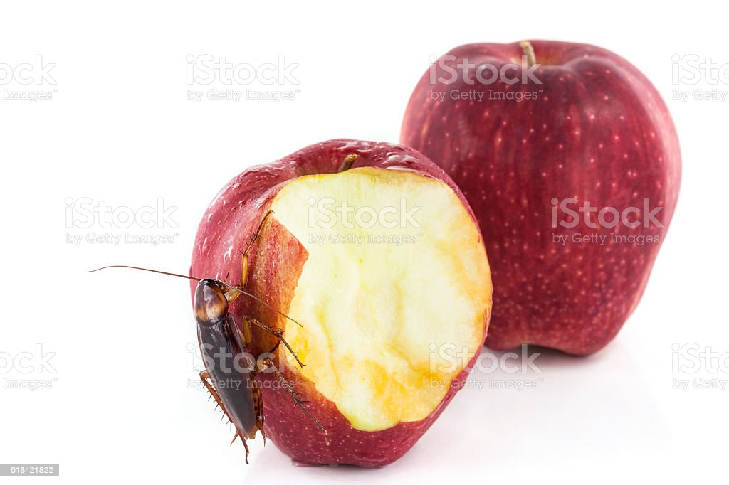 cockroach eating a red apple isolated on white background stock photo