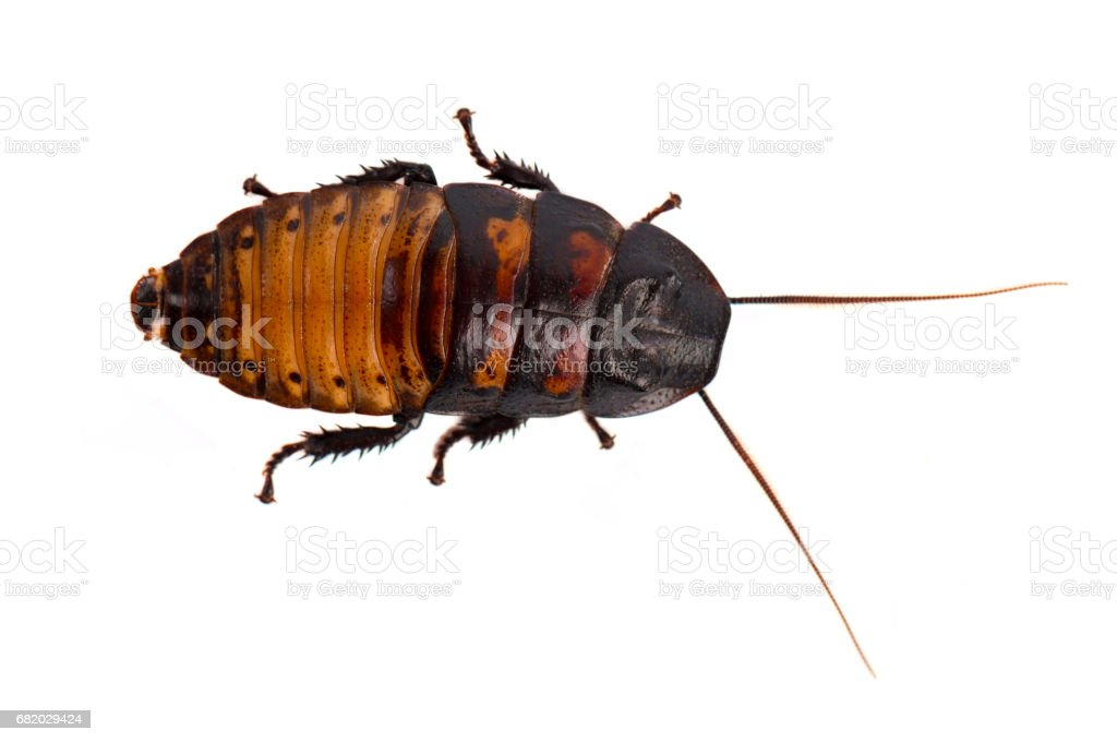 Cockroach isolated on white background stock photo