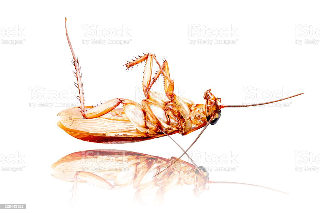 Cockroach isolated on white background. Taken from side. stock photo
