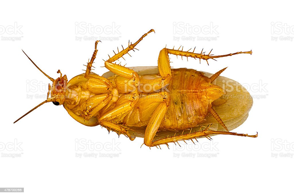 cockroach isolated on white background with clipping path. stock photo