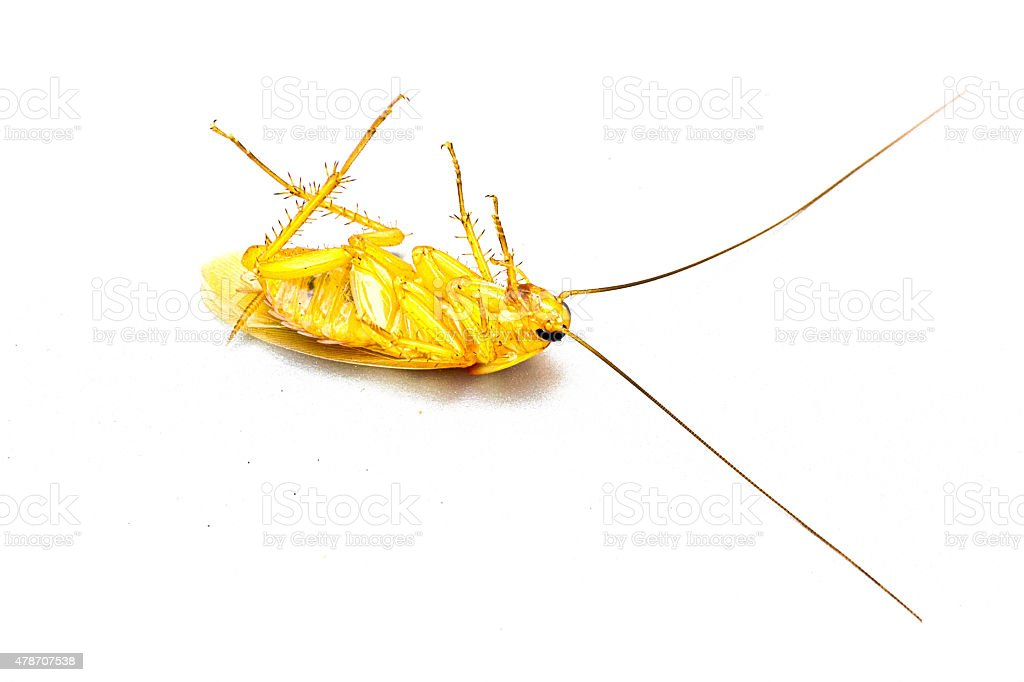 Cockroach isolated on white. Taken from side. stock photo