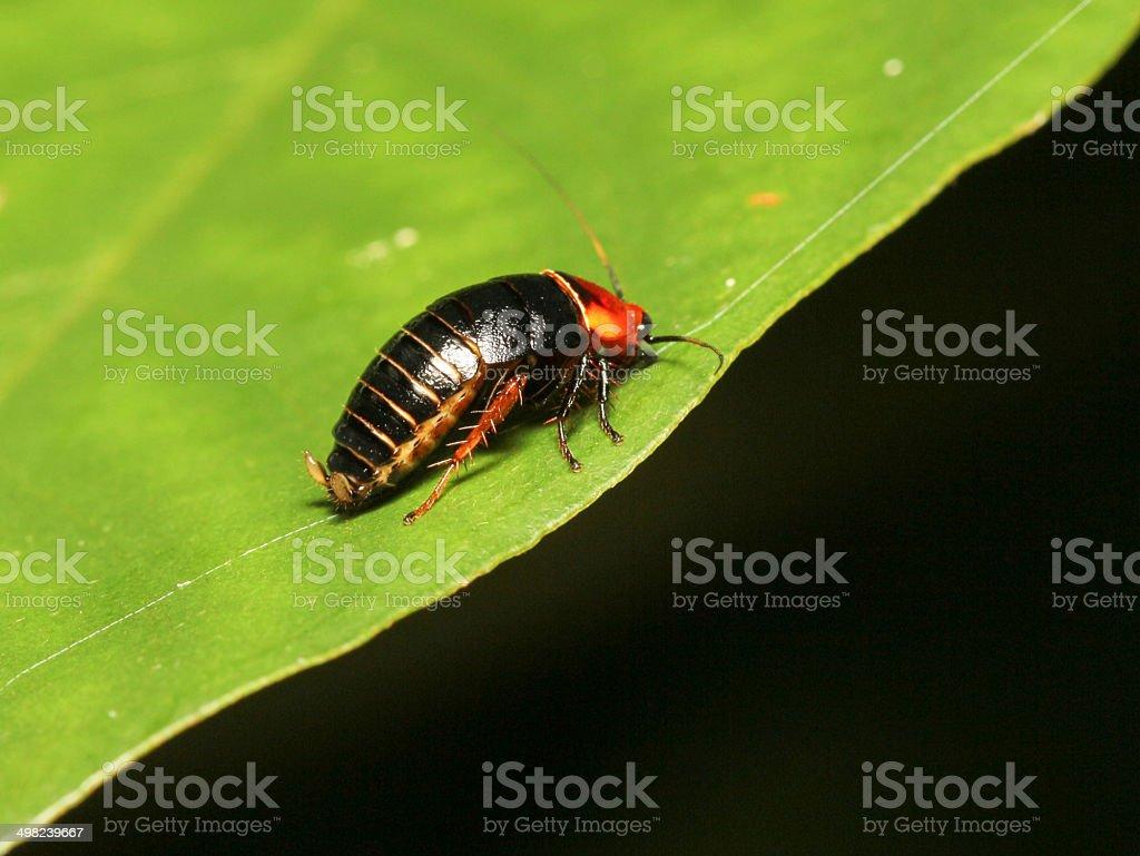 Cockroach Laxta sp stock photo
