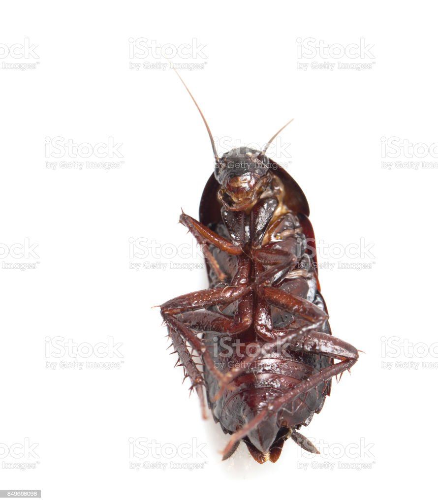 cockroach on white background stock photo