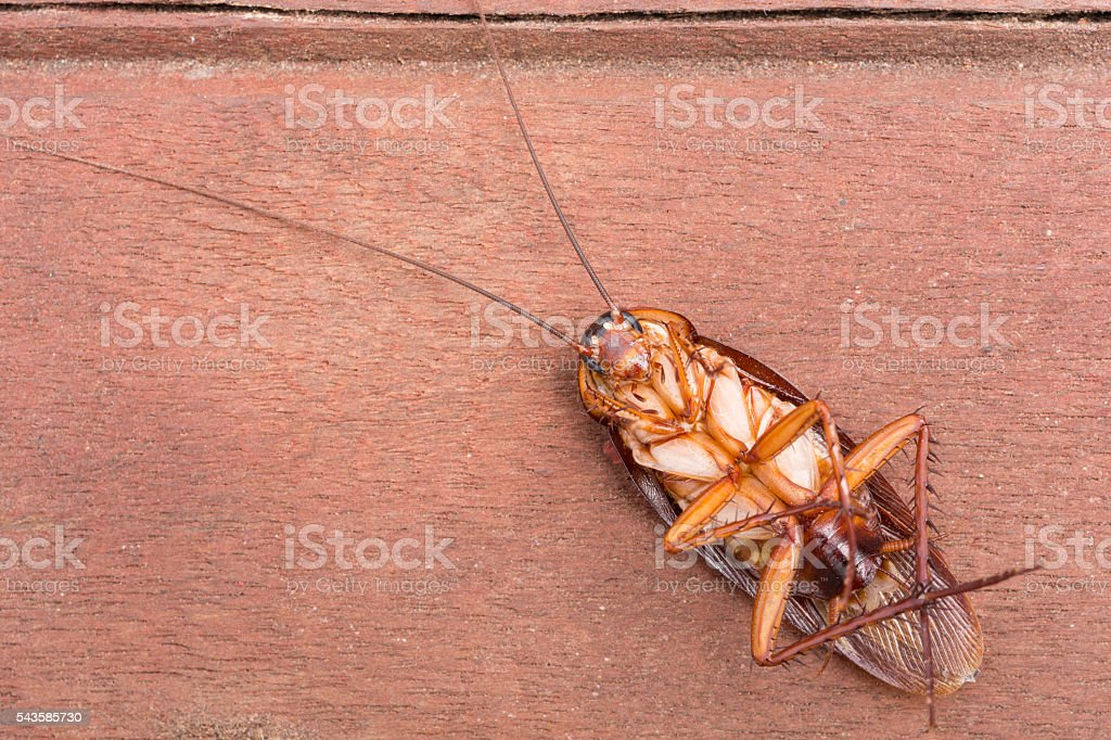 Cockroaches dead stock photo