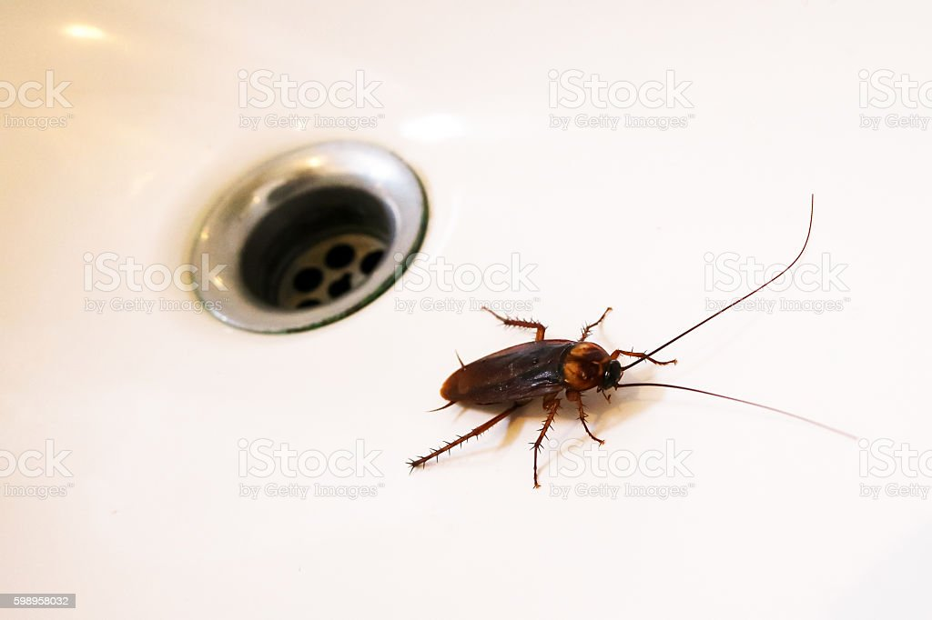 Cockroaches in the sink. stock photo