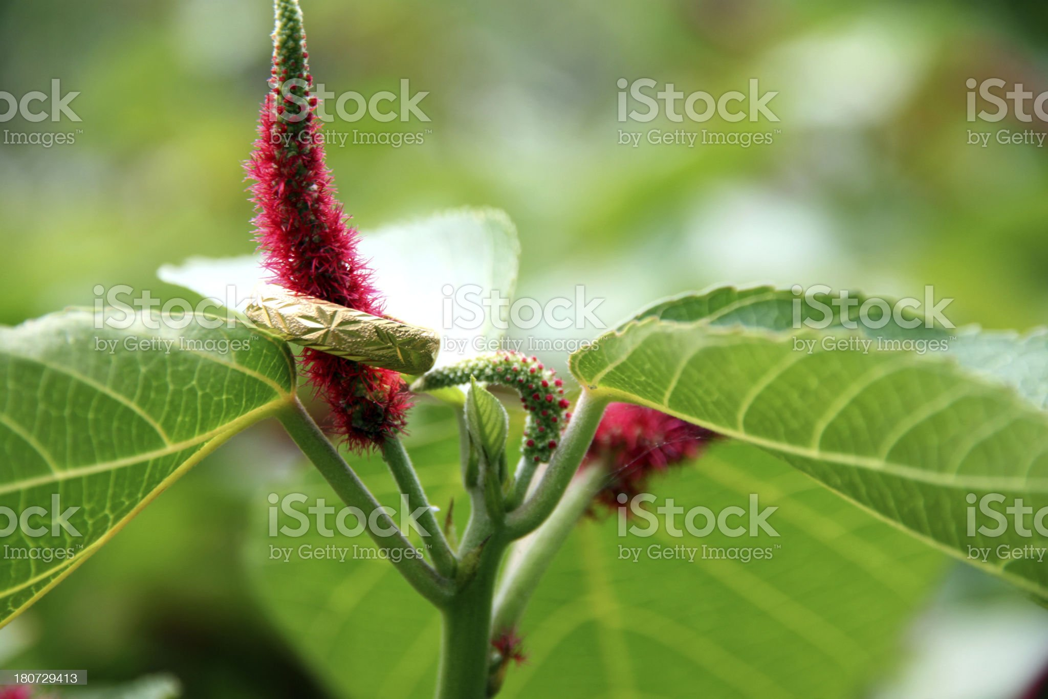 Cockscomb flowers in the garden and golden ring. royalty-free stock photo