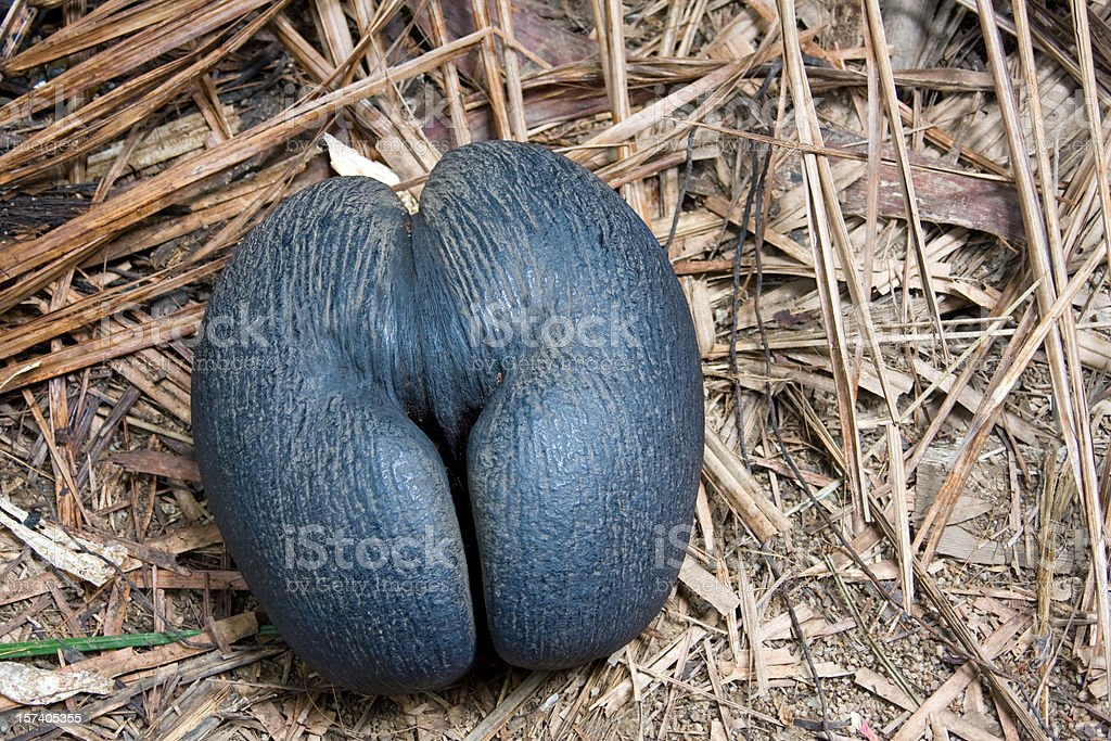 coco de mer royalty-free stock photo