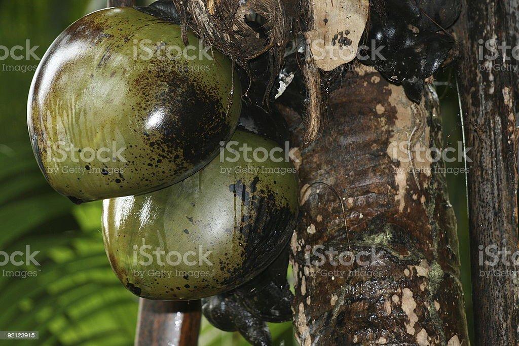 coco fesses des Seycheles stock photo