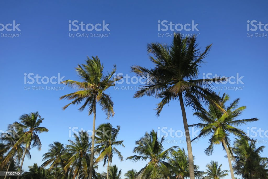 Coco palms in Mozambique stock photo