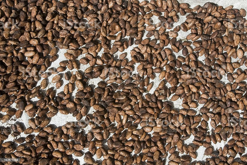 Cocoa Beans Drying royalty-free stock photo