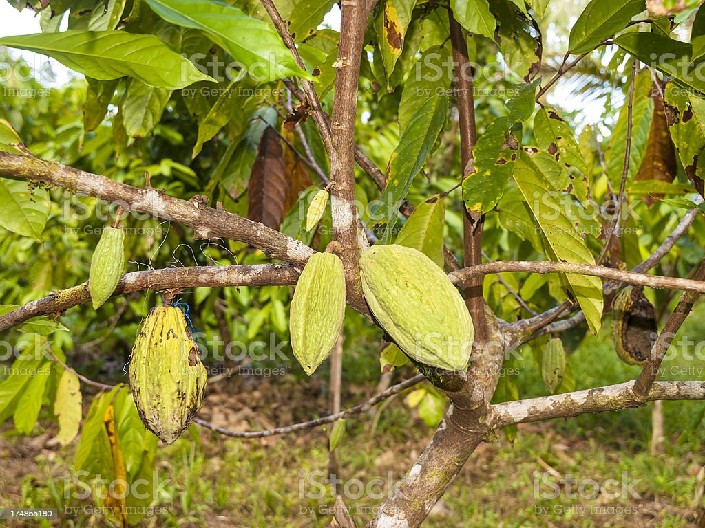 Cocoa fruit royalty-free stock photo