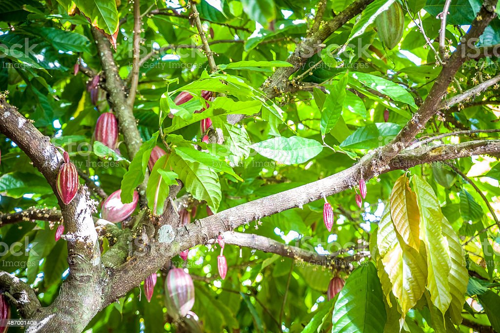 Cocoa Growing In The Caribbean royalty-free stock photo