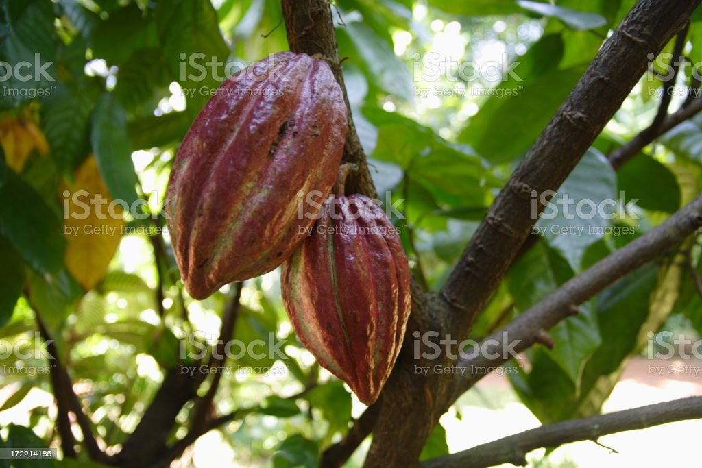 A cocoa plant hanging from a tree stock photo