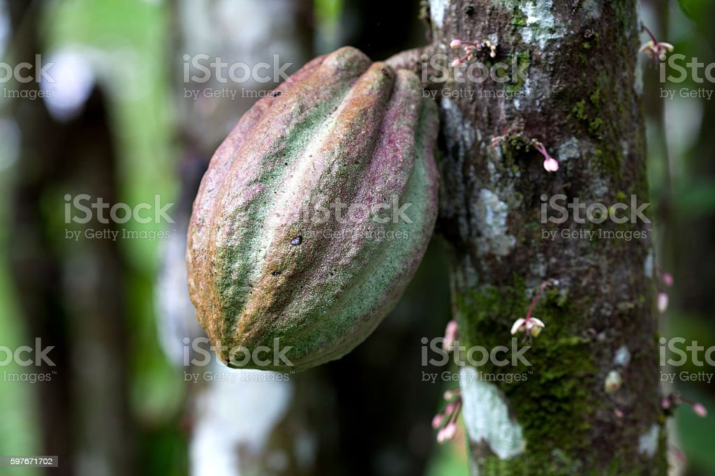 Cocoa pods on a cacao tree in Costa Rica stock photo