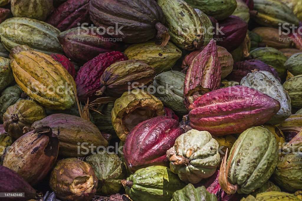 Cocoa pods stock photo