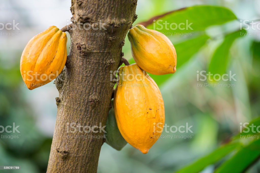 Cocoa tree stock photo