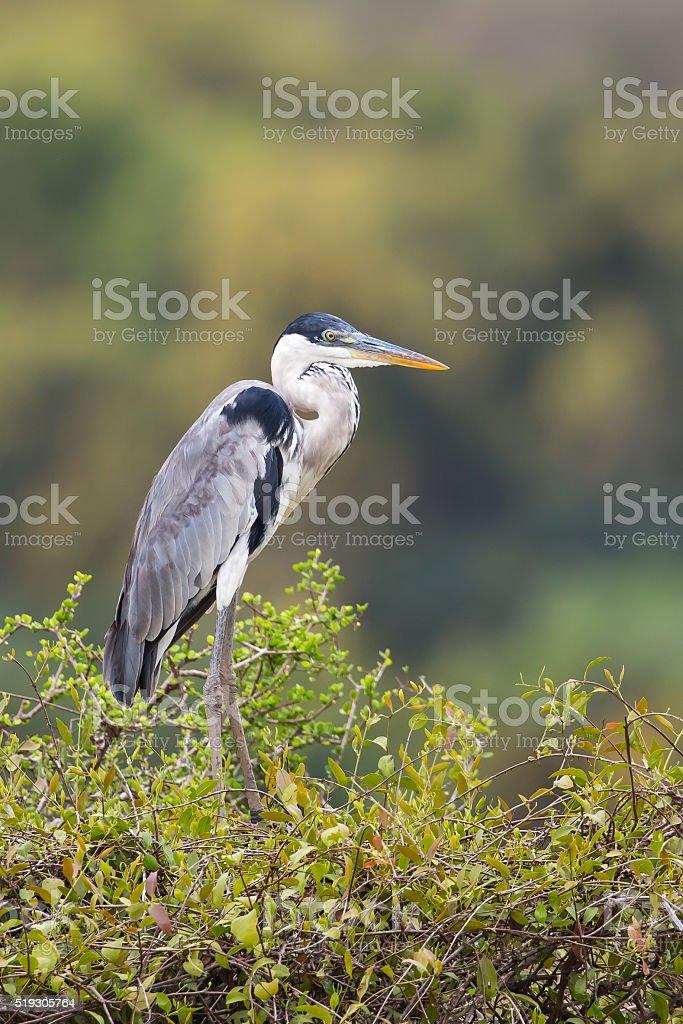 Cocoi Heron standing in vegetation stock photo