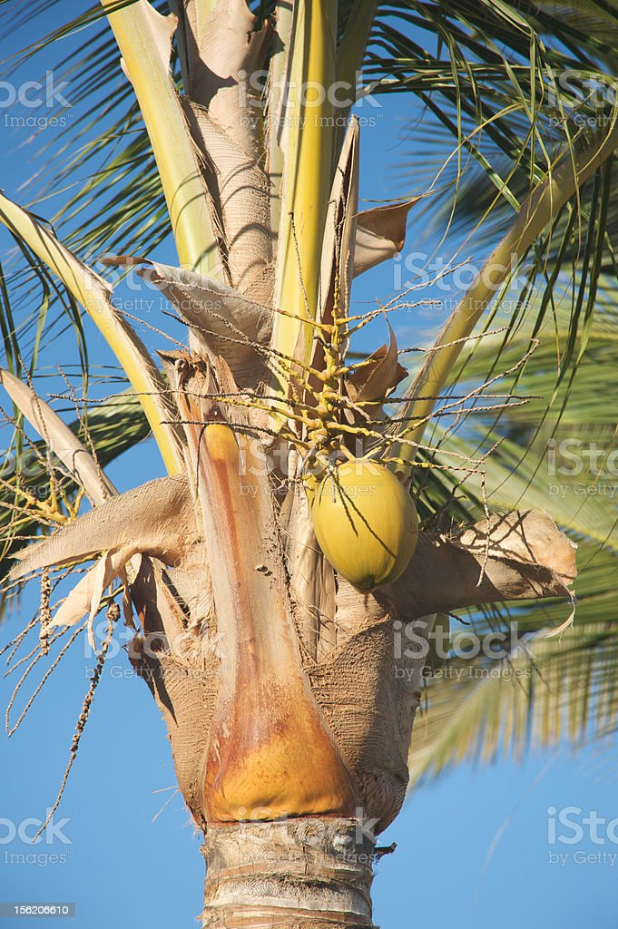 Coconut and palm tree royalty-free stock photo