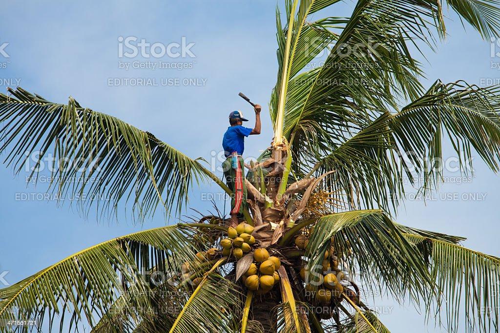 Coconut climber royalty-free stock photo